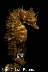 Female Seahorse by Luc Rooman 
